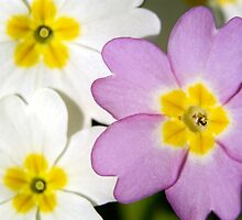 PRIMROSES IN SPRING by kfbphoto