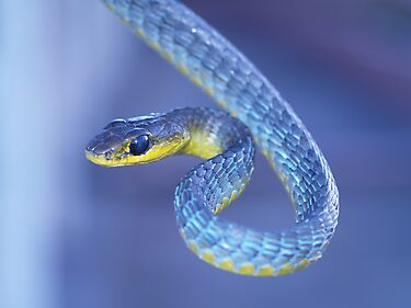 Blue - Green Tree Snake by Steve Bullock