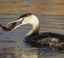 Great Crested Grebe by shaftinaction