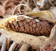 Milkweed Seed Pod by Andy2302
