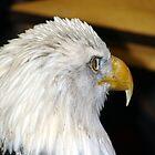 Bald Eagle  by angelandspot