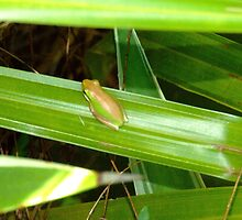 Green Brown Striped Tree Frog by Beccaboo