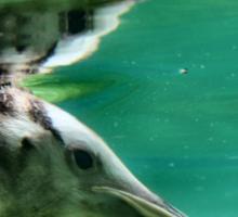 "The Penguin  (3) - Fantastic underwater photo of a penguin in ""flight"" Sticker"