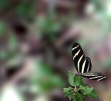 Zebra Heliconian by Kirk Allemand