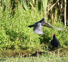 Pigeons and Pukeko by avionz