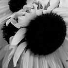 sunflower in black & white_2 by daniels