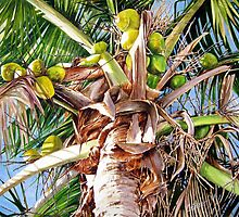 Coconut Palm by Carlos Alvarez Cotera