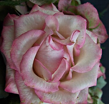 Antique Rose by PhotoGemsUK