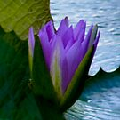 Water Lily  by photogurl
