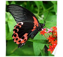 Scarlet Swallow Tail Poster