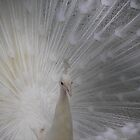 White Peacock by Lokesh Kumar S