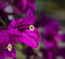 Rich Bougainvillea by Joy Watson