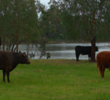 Cattle grazing Sticker
