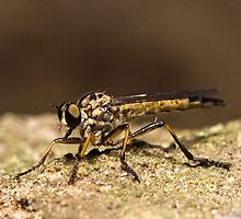 Robber Fly by Colin  Ewington