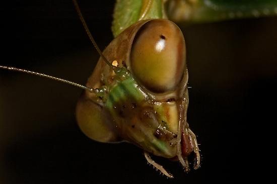 Mantis Head by Frank Yuwono