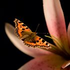 Red Admiral or Vanessa Atalanta  by Richard Scott