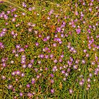 Round-leaved Pigface. by Bette Devine