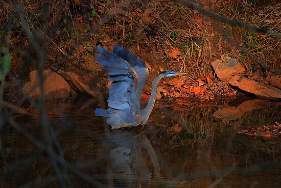 Great Blue Heron by Robert Burns Miller