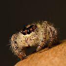Jumping Spider by Frank Yuwono