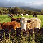 Cows of Llanfairfechan by Michael Haslam