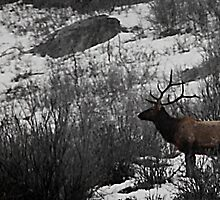 Majestic Bull Elk - Provo Canyon, Utah by Ryan Houston