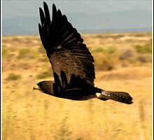 Swainson's Hawk Dark Morph by Ryan Houston