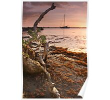 Sargasso Weed and Buttonwood at Sunrise with Sailboat behind Poster