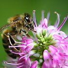 a bee on a purple flower by Steve Arkleton