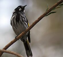 New Holland Honeyeater by Sara Lamond