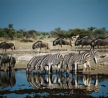 Zerbra drinking in mirror water by Bernhard Bekker