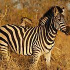 Zebra in afternoon sunlight by Bernhard Bekker