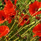 Wind Swept Poppies by Robin Brown