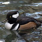 Hooded Merganser by Moxy