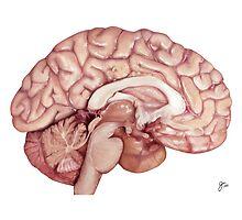 The Human Brain- Scientific Illustration by Julia Moore