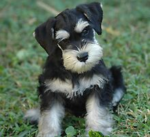 Black & Silver Miniature Schnauzer Puppy by GroovyDA