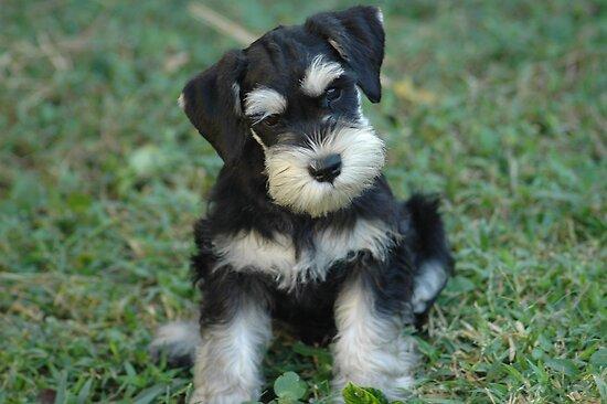 GroovyDA › Portfolio › Black & Silver Miniature Schnauzer Puppy