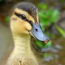 Have YOU Twigged On Yet? - Mallard Duckling - NZ by AndreaEL
