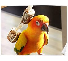 "I'm Backpacking On The ""Cheep""!!!- Sunconure - NZ Poster"
