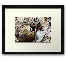 Come on Pip, You Can Do It, I Did It! - Baby Seagull Hatching! - NZ Framed Print