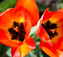 Anatomy of a Tulip: Double Trouble by Megan Campbell