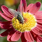 Green Bottle Fly on Daisy. by wildrider58