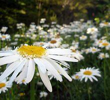 Daisy by Shannyn
