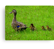 Come on Kids Move Along! - Mallard Ducks - NZ Canvas Print