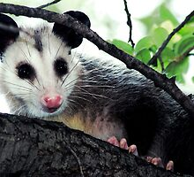 Opposum Close-Up by Swede