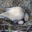 Perfect Beginning - Mother & Child - African Collared Dove - NZ by AndreaEL