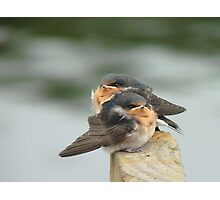 We'd Welcome An Insect Or Two!! - Welcome Swallows - NZ Photographic Print