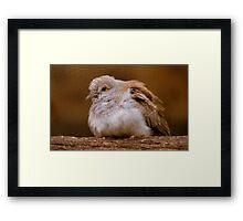 A Diamond In The Rough - Juvenile Diamond Dove - NZ Framed Print