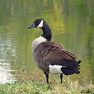 Canadian Goose by James Brotherton