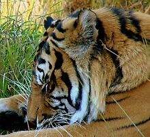 Phew! Is This Day Over Yet? - Tiger - Orana Wildlife Park CHC NZ by AndreaEL