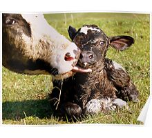 Welcome To The World My Son!! New Born Calf - NZ Poster